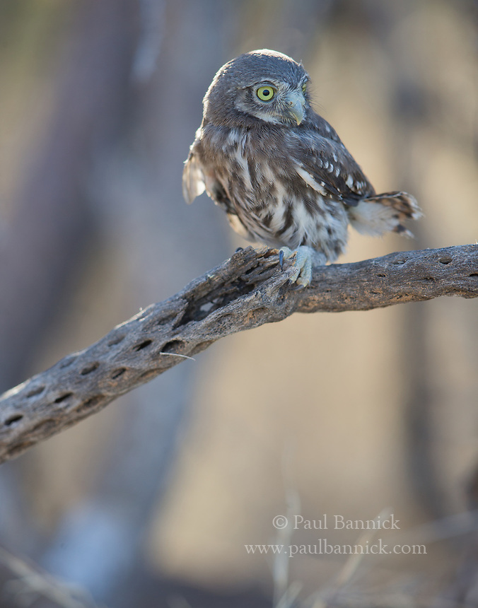 An alert Cactus Ferruginous Pygmy-Owl fledling flicks its tail before flying for the first time.