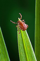 Female Dog Tick (Dermacentor variabilis). The dog tick, is perhaps the most well-known of the North American hard ticks. This tick does not carry Lyme disease, but can carry Rocky Mountain spotted fever. Tick is the common name for the small arachnids in superfamily Ixodoidea that, along with other mites, constitute the Acarina. Ticks are ectoparasites (external parasites), living by hematophagy on the blood of mammals, birds, and occasionally reptiles and amphibians.