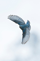 Mountain Bluebird in Flight
