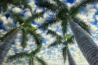 Canopy of palm trees. Maui, Hawaii