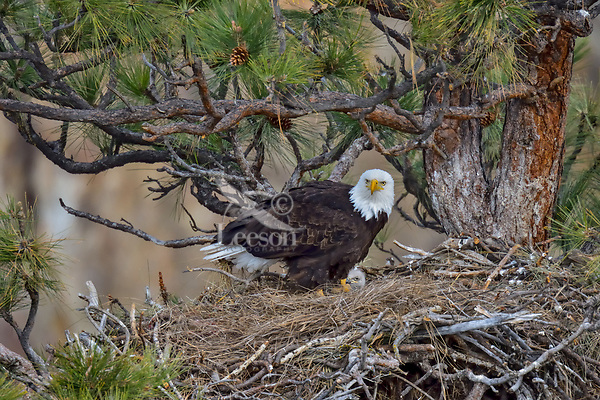 Bald Eagle Nest (Haliaeetus leucocephalus)--adult with ten day old eaglet in tall ponderosa pine tree.  Oregon.  April.