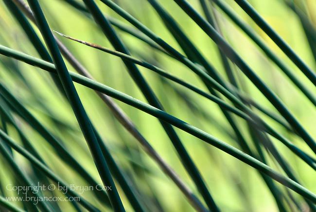 Reeds, Tahkenitch lake, Oregon