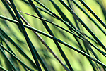 Reeds, Tahkenitch lake, Oregon