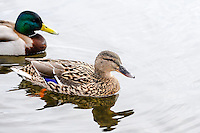 Norway, Stavanger. Mallards on Store Stokkavann.