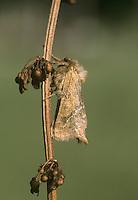 Common Swift - Hepialus lupulinus