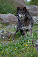 Tundra Wolf standing in the grass - CA