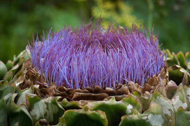 Globe artichoke, late July.