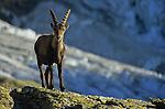 Bouquetin près du reguge Bordier au dessus de la vallée de Zermatt.
