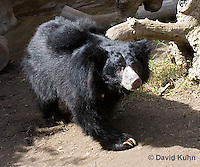 0326-1006  Sloth Bear (Labiated Bear), Melursus ursinus  © David Kuhn/Dwight Kuhn Photography.