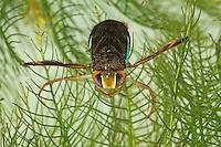 Ruderwanze, Corixa punctata, lesser water boatman, Ruderwanzen, Corixidae