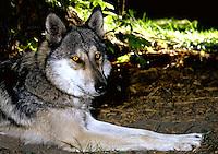Grey Wolf (captive). Utah.
