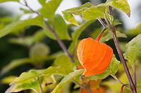 Lampionblume, Blasenkirsche, Judenkirsche, Frucht, Früchte, Physalis alkekengi, Bladder cherry, Chinese lantern, Japanese lantern, Winter cherry, Strawberry Tomato, fruit