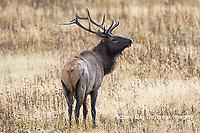 01980-03005 Elk (Cervus elaphaus) bull male, Yellowstone National Park, WY