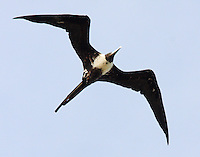 Adult female magnificent frigatebird soaring at Rockport in July as part of a large flock of females and juvenile birds. In proportion to its weight the frigatebird has the longest wings of any bird.