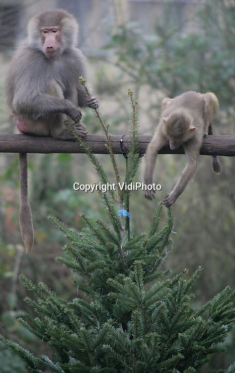 AMERSFOORT - Voor de olifanten en bavianen van Dierenpark Amersfoort was het woensdag feest. De dieren werden verrast met ruim 100 niet-verkochte kerstbomen om mee te spelen. De bomen zijn afkomstig van diverse tuincentra uit de buurt. In de praktijk bleken de dennentakken ook interessant voedsel voor de bavianen. Foto: VidiPhoto