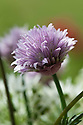 Flower heads of chives, early May.