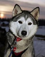 "Karen Ramstead's Siberian Husky ""Dasher"" at the Nikolai checkpoint Wednesday morning"