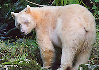 Spirit Bear 'Ringer' looking back