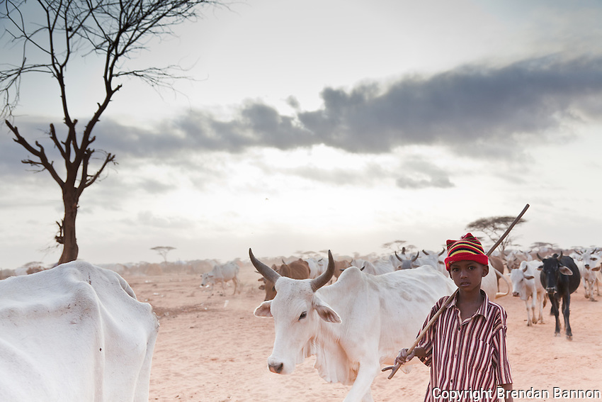 A young boy taking bone-thin cattle  in search of pasture at the edge of dadaab refugee camp in northern kenya. many recently arrived Somali refugees have lost all of their animals to the ravishing effects of a prolonged drought in Somalia.