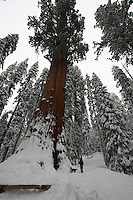 Sequioa National Park Elevation 4000ft to 6000ft elevation. Winter snow fall 6 to 10 feet. Also Photographer the General Sherman Tree.