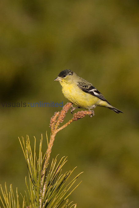 Lesser Goldfinch male (Carduelis psaltria) perched on a Pine tree, Arizona, USA.