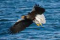 Japan, Hokkaido, Steller's sea eagle flying over ocean