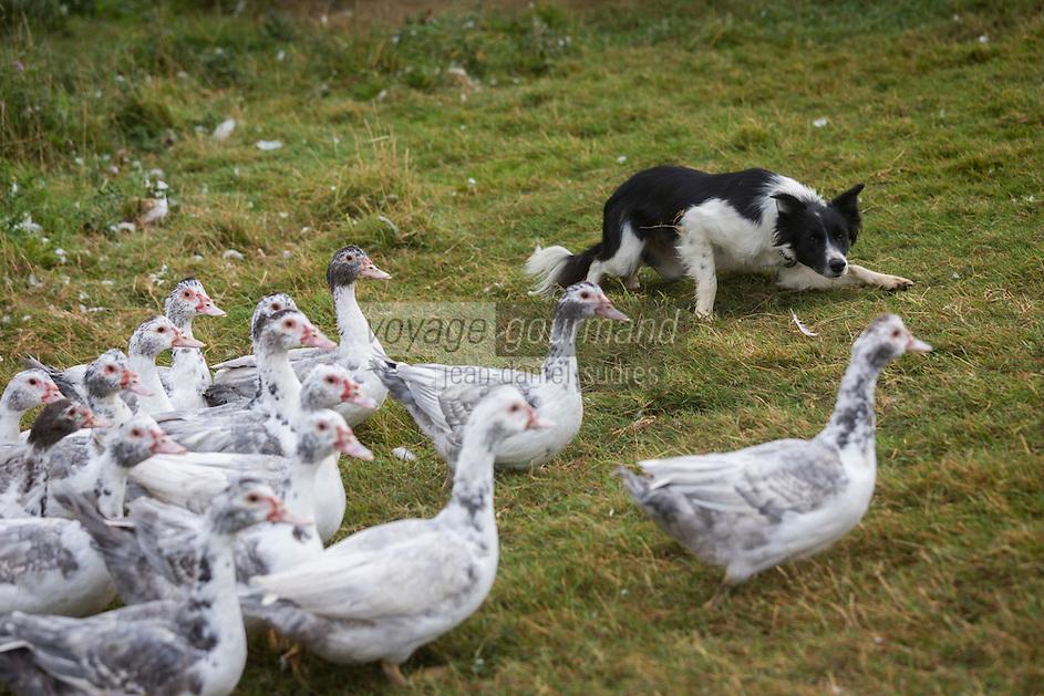France, Aude (11),  Mézerville , élevage de canards, ferme avicole Tardieu, Gaec de Bérengou //France, Aude, Mezerville, duck farm, poultry farm Tardieu, Gaec Bérengou