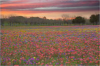 What I thought was going to be a clear sunrise quickly turned cloudy. I captured this landscape of a field of Texas Wildflowers on Church Road near New Berlin as the final streaks of color lit up the morning sunrise.