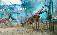 Low angle view of Giraffes in enclosure with fresco,  Parc Zoologique de Paris, or Zoo de Vincennes, (Zoological Gardens of Paris, also known as Vincennes Zoo), 1934, by Charles Letrosne, 12th arrondissement, Paris, France, pictured on November 19, 2010, in the afternoon. In November 2008 the 15 hectare Zoo, part of the Museum National d'Histoire Naturelle (National Museum of Natural History) closed its doors to the public and renovation works will start in September 2011. The Zoo is scheduled to re-open in April 2014. Picture by Manuel Cohen.