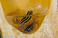 Biolat poison frog (Ranitomeya biolat) with tadpole in a phytotelma, a water-filled segment of a giant bamboo, lowland tropical rainforest, Bahuaja-Sonene National Park, Madre de Dios, Peru.