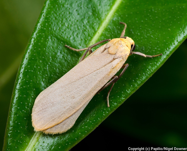 Close-up of a Buff footman moth (Eilema deplana) in its typical resting position with wings folded on a leaf in a Norfolk garden in summer