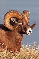 Bighorn Sheep (Ovis canadensis), Jasper National Park, Alberta, Canada