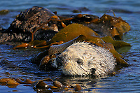 Sea Otter (Enhydra lutris)  wrapped in kelp while resting.