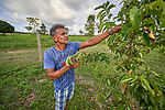 Paulo da Silva Bezerra, 56, checks a tree on his small farm in the village of Alive, outside Santarem, Brazil. His farm has quickly been surrounded by soy plantations, and da Silva complains that spray from the soy fields have damaged the fruit trees and other crops on his farm.