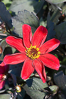 Dahlia 'Happy Single Romeo' red flower with very dark foliage
