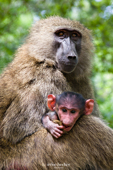 Olive Baboon with its young. Yankari National Park, Bauchi State, Nigeria.