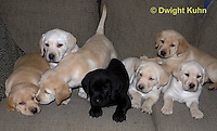 SH38-522z Lab Puppies - Genetic variation, Black, Yellow and White, 6 weeks old..