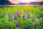 Sunset over Lupine field at Turnagain Arm. Chugach Mountains in the background. Southcentral Alaska, Summer.