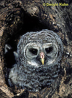 OW01-108a  Barred owl - young in nest cavity -  Strix varia