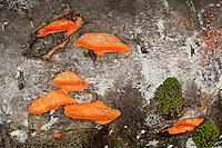 Zinnober-Tramete, Zinnobertramete, Zinnoberrote Tramete, Nördlicher Zinnoberschwamm, Zinnober-Schwamm an Totholz, auf einem Ebereschen-Stamm, Pycnoporus cinnabarinus, Trametes cinnabarina, Cinnabar-red Polypores, Cinnabar Bracket