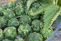 Brennnessel-Gemüsebällchen, Brennnesseln werden zu Gemüsebällchen, Wildgemüse, Brennnessel-Spinat, Brennnessel-Gemüse verarbeitet, Brennnessel, Große Brennnessel, Brennessel, Urtica dioica, Stinging Nettle, common nettle, nettle leaf, La grande ortie, ortie dioïque, ortie commune