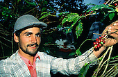Espirito Santo, Brazil. Worker picking coffee (coffea arabica).