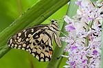 SE Asia, Myanmar, Tachileik, Papilio demoleus malayanus