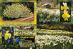 Published photography by Carolyn Fox..Photography and design of post cards for Daffodil Hill