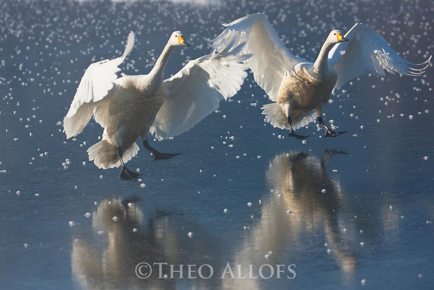 Japan, Hokkaido, whooper swans landing on ice