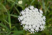 Daucus carrota, Queen Anne's Lace wildflower  in flower