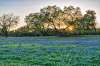 We wait every year for spring to see what wildflowers will appear and they didn't disappoint again this year. Theres a reason they are so special even our Legislature felt the need to declare the bluebonnet or Lupine the state flower of texas.  In this image we were able to capture the sun rays through the mesquite tree over this field bluebonnet wildflowers  for a scenic landscape.  The Texas bluebonnet or lupine were declared the state flower by the Texas legislature in 1971 that along with the Lady Bird Johnson Highway Beautification Act have helped the wildflowers in the southwestern United State become a favorite thing to see every spring. People come from all over to see them and enjoy these wonderful wildflowers.