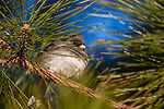 Dark-eyed junco perched in a red pine in northern Wisconsin.