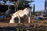 DONKEY FEEDS in DILAPITATED FARM<br /> <br /> Livestock are domesticated animals raised in an agricultural setting to produce commodities such as food, fiber and labor.
