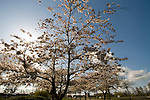 Cherry tree blossoms backlit